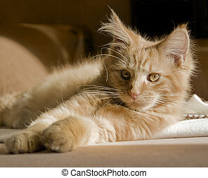 Maine Coon kitten - red tabby Maine Coon kitten resting on a...