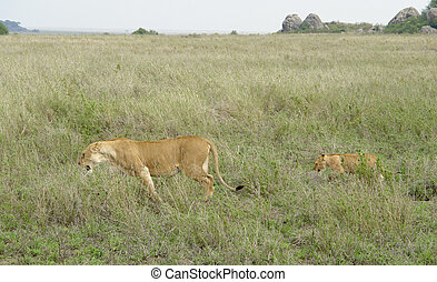 savannah scenery with adult and young Lion - two Lions in...