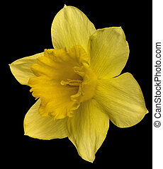 yellow daffodil on black - yellow daffodil flower in black...
