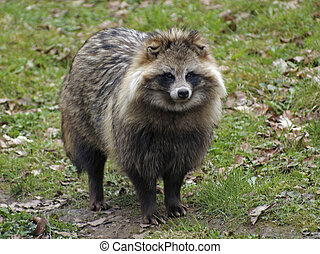Raccoon Dog in natural ambiance - a Raccoon Dog standing in...