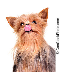 Cute yorkshire terrier licking it's nose portrait