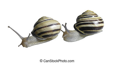 two Grove snails - studio photography of two grove snails...