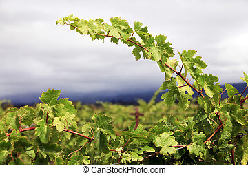 Grapevines in vineyard. Napa, California