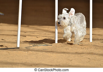 Miniature Schnauzer at a Dog Agility Trial - Miniature...