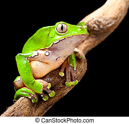 green tree frog amazon rain forest - frog at night in amazon...