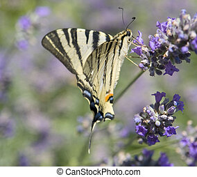 "Scarce Swallowtail - butterfly named ""Scarce Swallowtail"" in..."