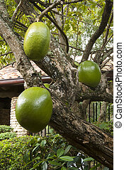 Guava tree with juicy fruits Dominican republic