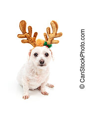 Little white dog with antler ears - A little white maltese...