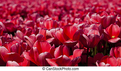Flowers - Tulips, colorful background