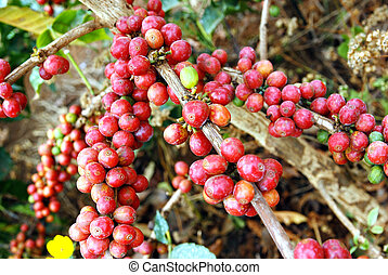 Fresh coffee grains on plant - Image of fresh coffee grains...
