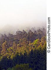 nevoeiro, raio sol, floresta, manhã