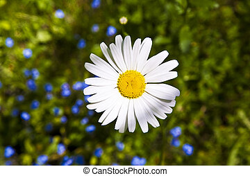 beautiful marguerites - marguerites in grass in the garden...