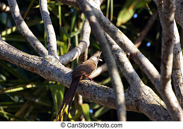 Long-tailed cuckoo in a tree