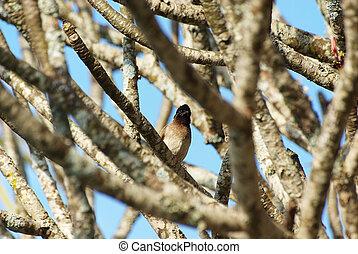 Grey cuckoo hidden in a tree