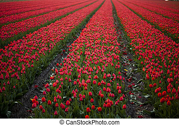 Multicolored Tulips - Tulips, colorful background