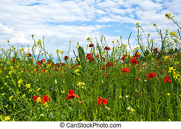 meadow with poppys