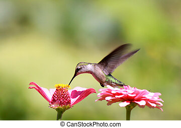 Humming bird - Close up shot of tiny humming bird on zinnia...