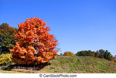 Bright autumn tree - Bright orange color autumn tree in the...