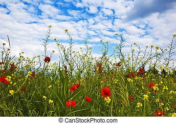 meadow with poppys