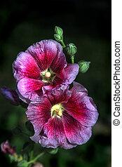 Pink Hollyhock (Alcea rosea) - Exquisite pair of pink...