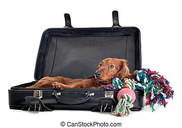 Dog resting in suitcase - A delightful view of a small,...