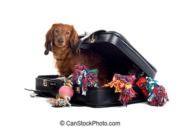 Dog in suitcase - A delightful view of a small, naughty...