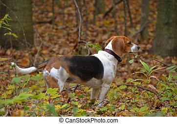 Beagle in woods - Beagle in autumn woods