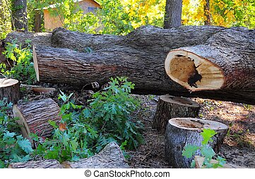 Huge Timber - Tree cut down was 75 inches around in diameter...