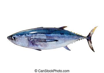 Albacore tuna Thunnus alalunga fish isolated on white