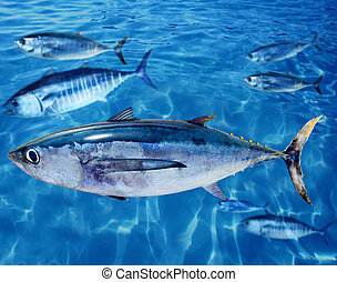 Albacore Thunnus alalunga fish and bluefin tuna - Albacore...