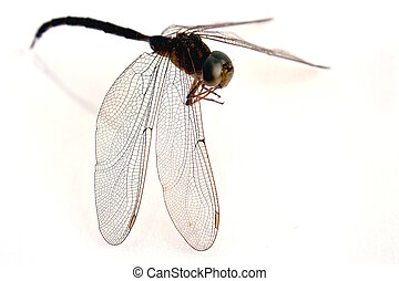 dragonfly isolate on white