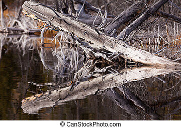 Weathered old trees mirrored on calm water surface