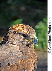 Steppe Eagle - A Steppe Eagle enjoying the autumn sun.