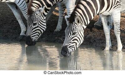 Plains Zebras drinking - Close-up of plains...