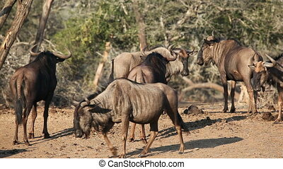 Blue wildebeest Connochaetes taurinus, in the African bush,...