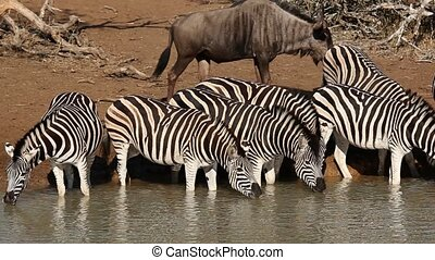 Plains Zebras drinking - Plains (Burchell%u2019s) Zebras...