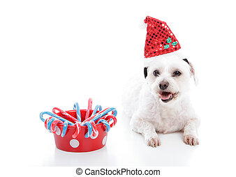 White small puppy dog beside bowl of Christmas candycanes