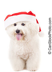 bichon frise in a santa claus hat - panting bichon frise in...