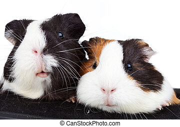 two cute guinea pigs - Close up of two cute guinea pigs on...