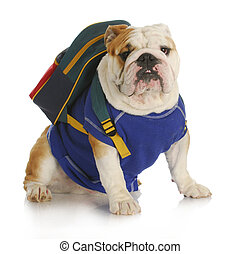 dog school - english bulldog wearing blue shirt and backpack...