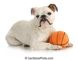 dog with ball - dog playing ball - english bulldog laying...