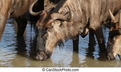 Wildebeest drinking - Close-up of a blue wildebeest...