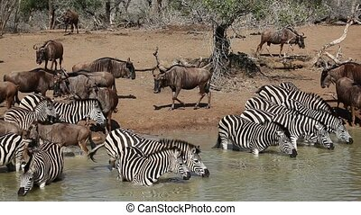 Zebras and wildebeest drinking - Herd of plains (Burchells)...