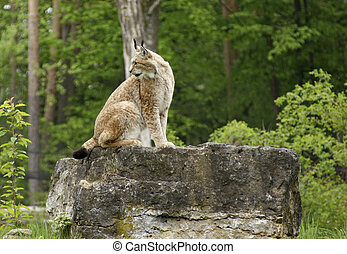 eurasian Lynx on rock formation - sideways shot of a...