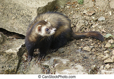 Ferret in stony back - high angle shot showing a ferret on...