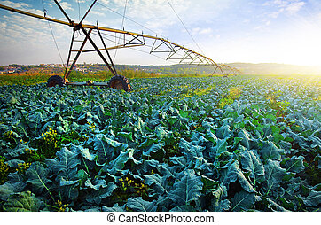 Cabbage Growth - Rural agriculture field with cabbage...