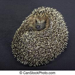 rolled-up hedgehog in dark back - a rolled-up hedgehog....