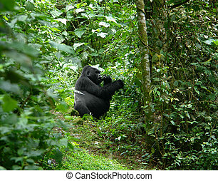 Gorilla in the jungle - a Mountain Gorilla in the cloud...