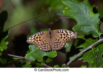 Butterfly Argynnis paphia on oak leaf - Butterfly Argynnis...