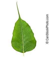Bodhi or Sacred Fig Leaf Isolated on White